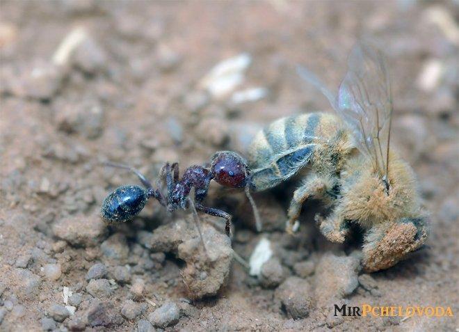 Борьба с муравьями на пасеке: используем народные средства